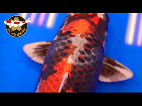 These Are The Best 21 Koi In Their Variety Class | All Japan Koi Show 2019