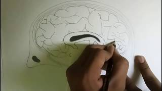 How to draw human brain diagram