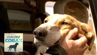 Монгольская борзая. Планета собак 🌏 Моя Планета