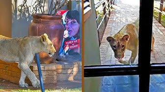 Lion Tries Entering Restaurant Full of Tourists!