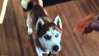 Siberian Husky Hilariously Struggles To Catch Food