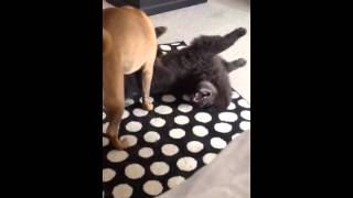 Blue Chow Chow And Shar Pei Attack N Fight