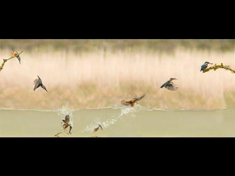 Dream Shots: Kingfisher