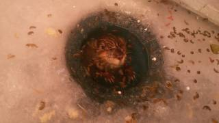 氷に穴を掘ってアイスフィッシングをしていたら・・・全然違うのが穴の中からぬらりぴょん