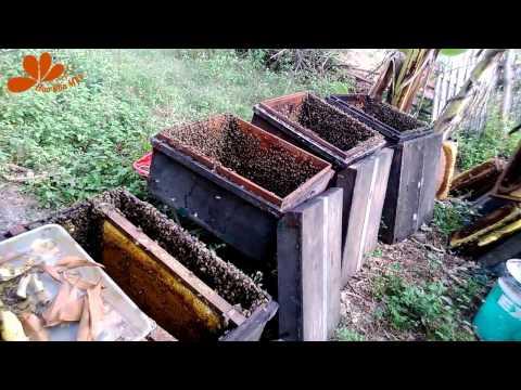 Cận cảnh Đàn ong lấy mật - Mật ong hoa bốn mùa