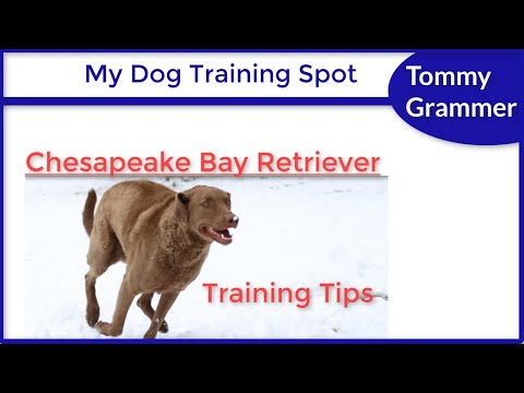 How To Train A Chesapeake Bay Retriever
