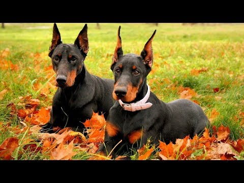 Funny Doberman Videos 2017 - Funny Dogs Compilation