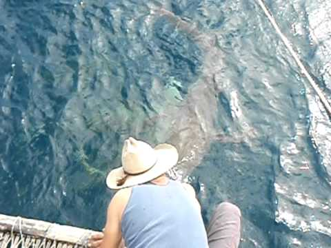 Carlo Fishing Charters - Playing tug of war with one of the sharks over a mackeral frame