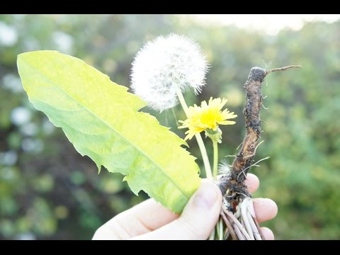 Dandelion: Identification, Uses, Folklore & Edible Flowers: Taraxacum officinale