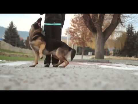 Dressage De chien Berger Allemand 2014 - YouTube