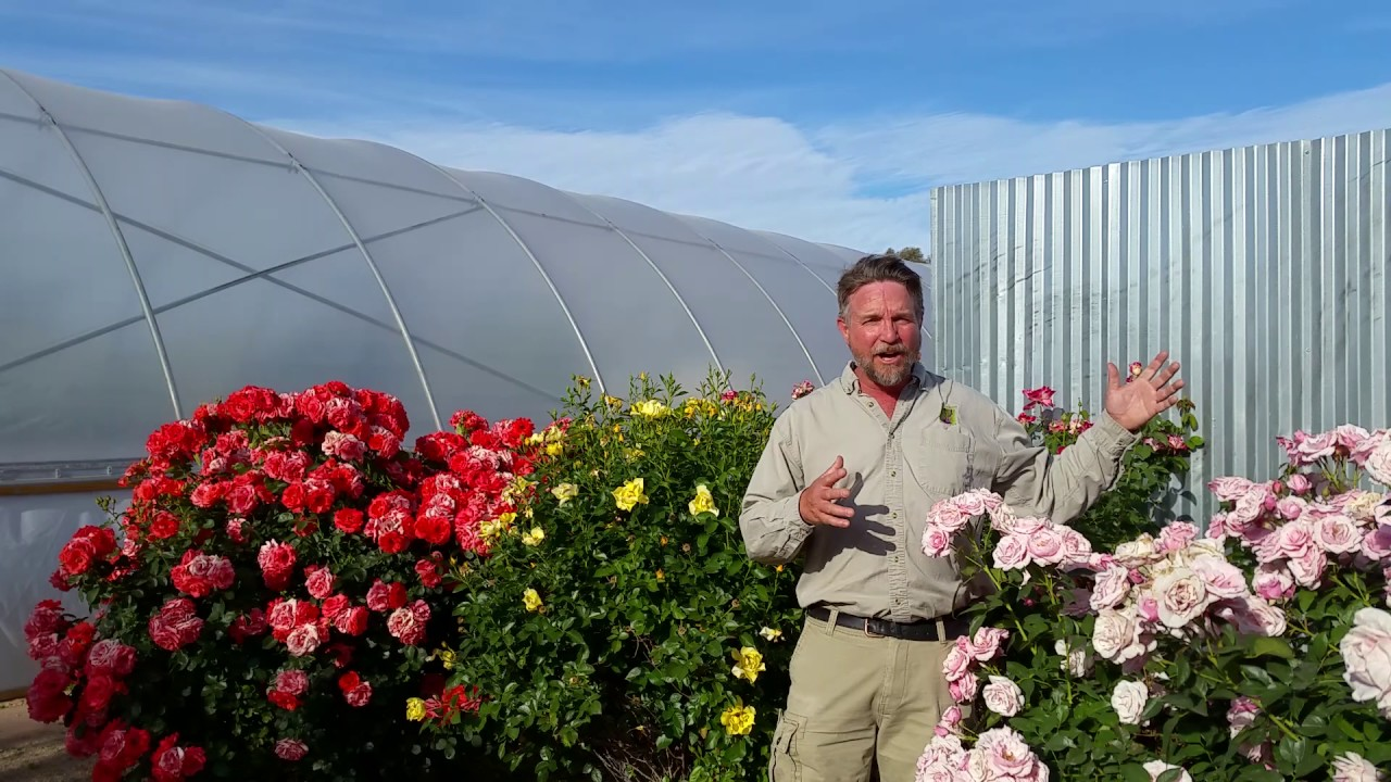 Civano Nursery Roses In Tucson You