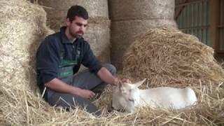 Mirabelle, la chèvre qui se prend pour un chien