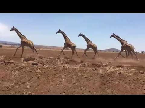 Herd of giraffes running in Tanzania, Africa