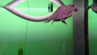 Черепаха красноухая - Pseudemys scripta