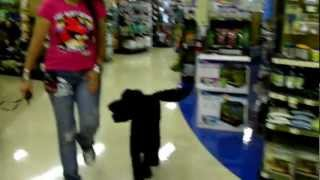 E Collar Obedience Dogtra Labradoodle Roscoe Goes To Petco