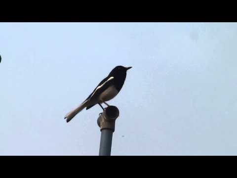 Call of Oriental Magpie-robin