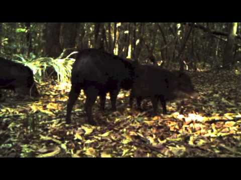 Peccary grooming (rubbing behavior) and scent glands