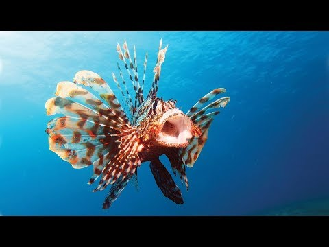 Lionfish Facts And Care Guide