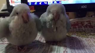 和尚鸚鵡 求奶舞