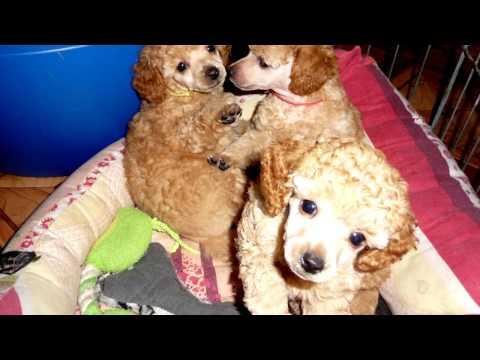 Порода собак Карликовый и той пудели. Пушисты игрушки. не собак- а сказка!!!