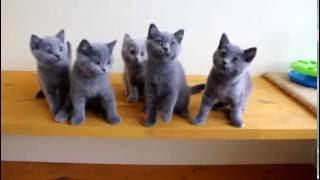 Британский кот и кошка - купить из питомника