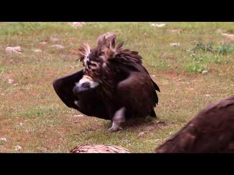 Eurasian Black Vulture (Aegypius monachus) aggresive walk