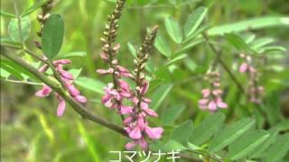 秋吉台の花(夏:シリーズ2)撮影:フルーツトマト BGM(勇気あるも...