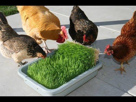how to grow chicken fodder ! does chicken eat fodder