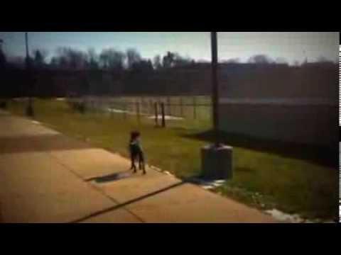 Pit Bull / Lab Mix: Good Dog Breed