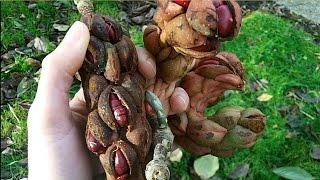How to Harvest and prepare Magnolia seeds ready for sowing