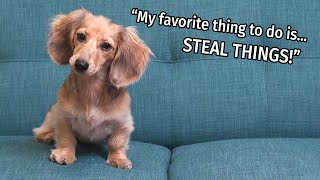 Ep #7: it's a Daphne Day! - Cute Dachshund Puppy Vlog
