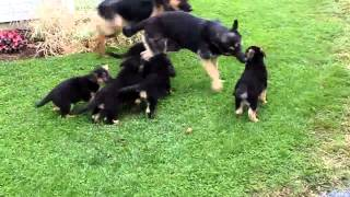 German Shepherd Puppies For Adoption Only