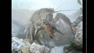America's Crayfish: Crawling In Troubled Waters thumbnail