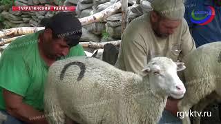 Уникальный продукт! В Дагестане каждый год производится более 100 тонн овечьего сыра