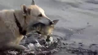 Это надо смотреть. Собака ловит рыбу.