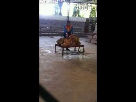 ✦BREAKING THE SPIRIT OF AN DRUGGED DECLAWED TIGER AT CHINA ZOO✦