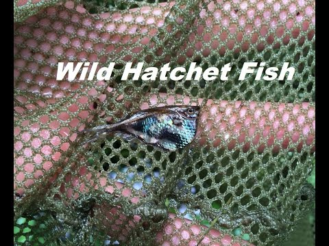 The Jungle Series - Amazon River Fish Collecting - Hatchet Fish From Peru