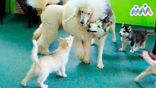 Щенячий детский сад, детский канал, собаки, щенки, играем вместе, хаски, пудель, овчарка.