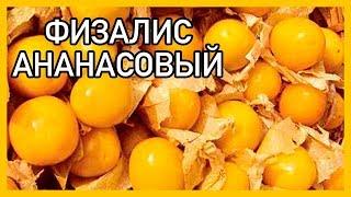 51. Физалис Ананасовый