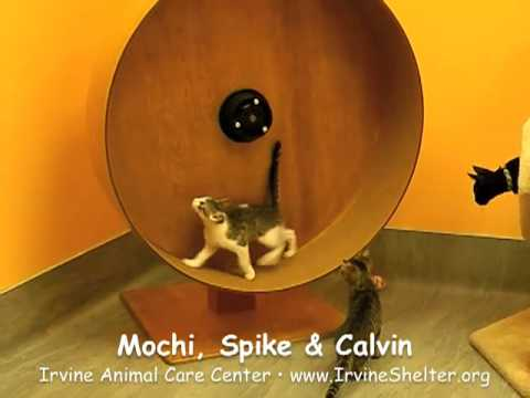 Kittens running on cat exercise wheel part 1