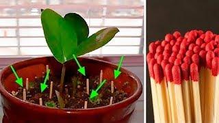Włóż Zapałki do Ziemi Po Co? Efekt Niesamowity   Kwiaty Doniczkowe Pielegnacja