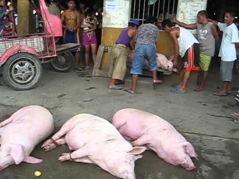 POOR PIG IN BOHOL MANGA PHILIPPINES