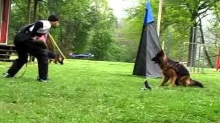 German Shepherd Dog Bark Training For Schutzhund