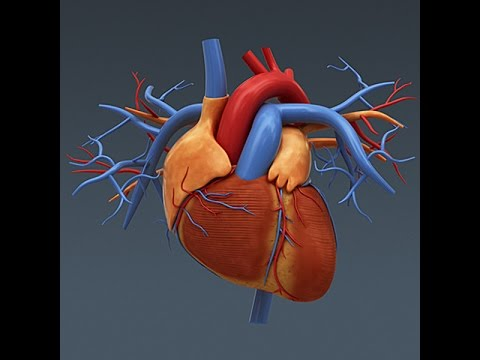 Anatomy and Physiology of The Heart - YouTube