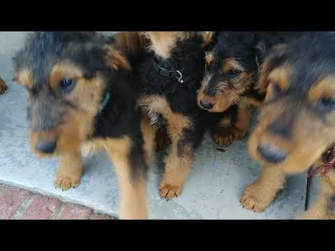 Back Porch Playing 9 & 11 Weeks AKC Purebred Airedale Terrier Puppies For Sale On January 18, 2019
