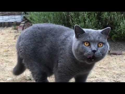 Best of British Shorthair cat breed | Animal beast