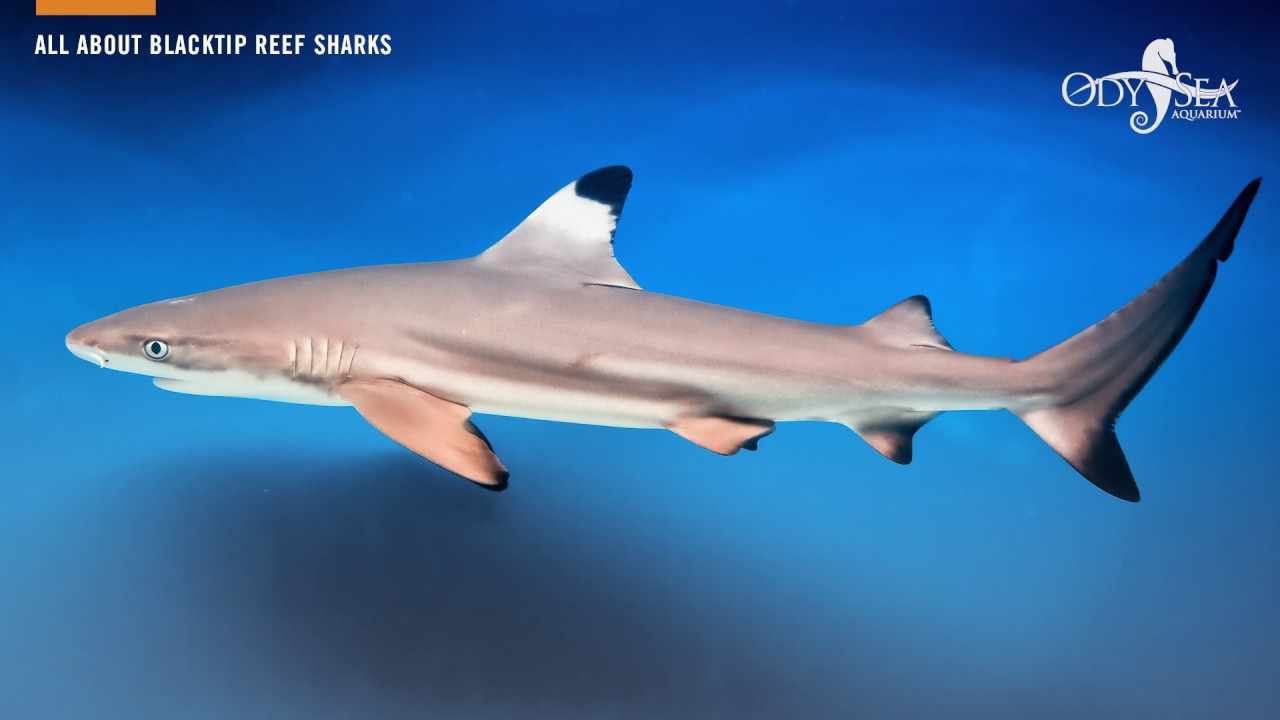 All About Blacktip Reef Sharks - YouTube