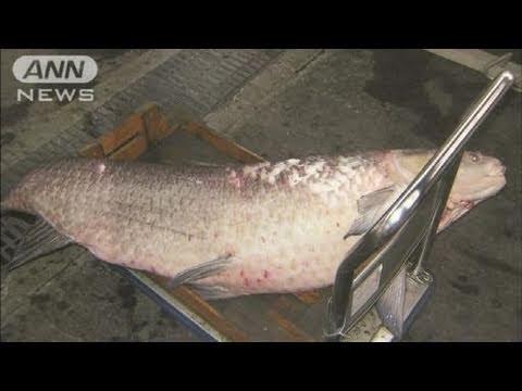 埼玉の競艇場に体長153センチの超巨大魚(11/01/25)
