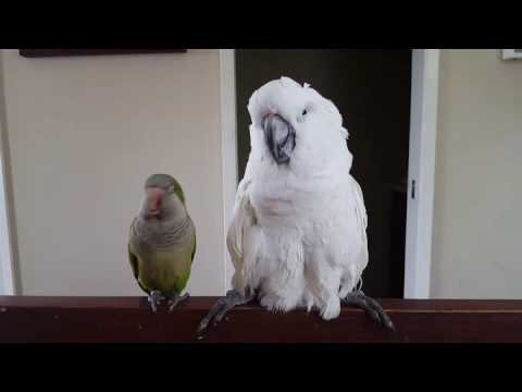 Quaker Parrot Loves Sleepy Umbrella Cockatoo