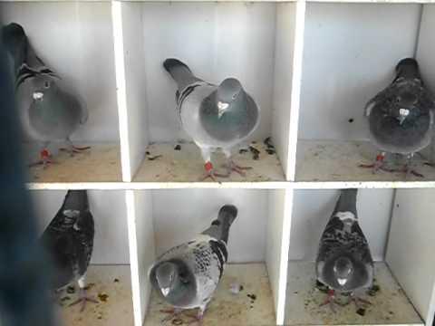 palomas mensajeras de amato leandro